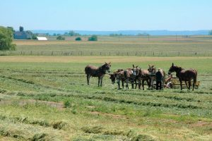 Mules and Amish Farmer in Field