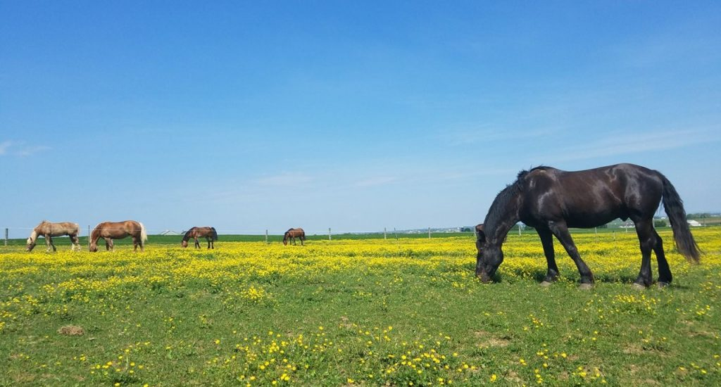 Horses in a Spring Field