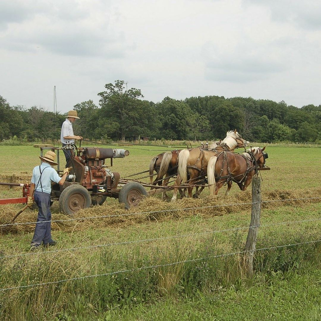Amish farmers in the hay field